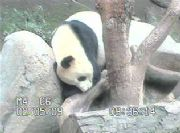 San Diego Zoo Panda Webcam