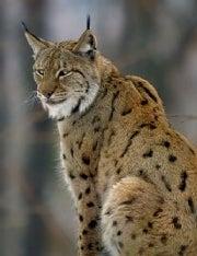 A Lucid Lynx?